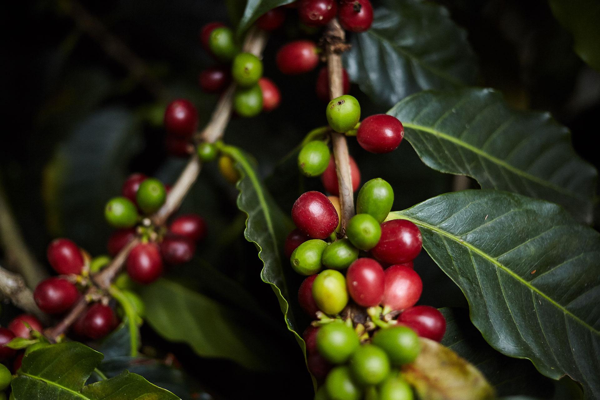 Pragas e problemas relacionados ao café de montanhas